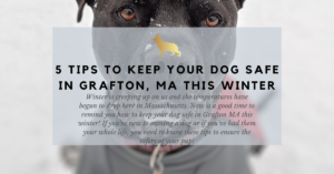 5 tips to keep your dog safe in grafton ma this winter
