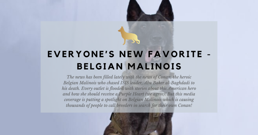 everyones new favorite belgian malinois